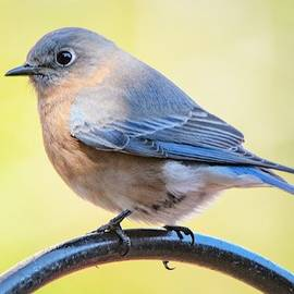 Mary Ann Artz - Eastern Bluebird Portrait