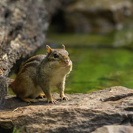Eastern Chipmunk - 8415 by Jerry Owens