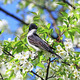Eastern Kingbird And White Blossoms by Debbie Oppermann