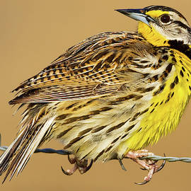 Eastern Meadowlark on Wire by Jerry Fornarotto