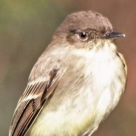Mary Ann Artz - Eastern Phoebe Vertical