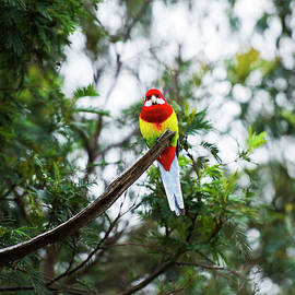 Eastern Rosella by Rob D Imagery