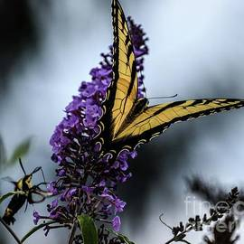 Eastern Tiger Swallowtail And The Hummingbird Moth by Cindy Treger