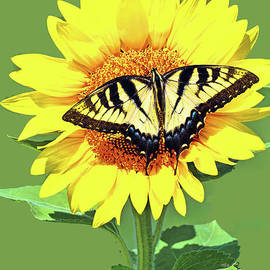 Eastern Tiger  Swallowtail Butterfly and Sunflower by Regina Geoghan