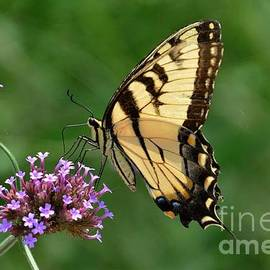 Eastern Tiger Swallowtail by Cindy Manero