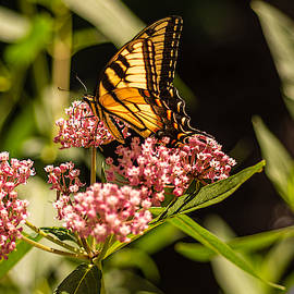 Eastern Tiger Swallowtail On Milkweed by Keith Smith