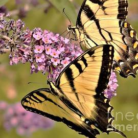 Eastern Tiger Swallowtail Pair               August                 Indiana by Rory Cubel