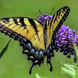 Eastern Tiger Swallowtail Without A blemish by Cindy Treger