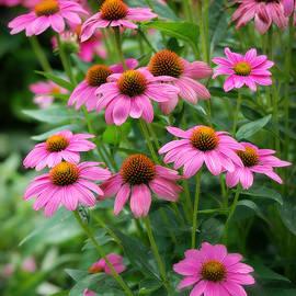 Echinacea Garden by Marilyn De Block