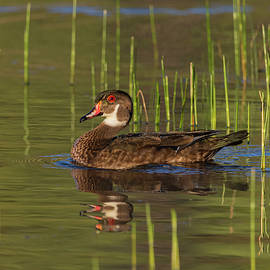 Eclipse Male Wood Duck  by Rick Mosher