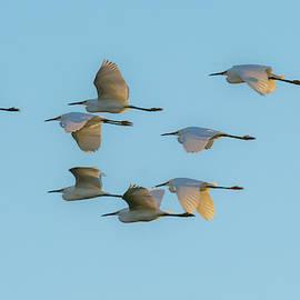Egret Flight by Alan C Wade