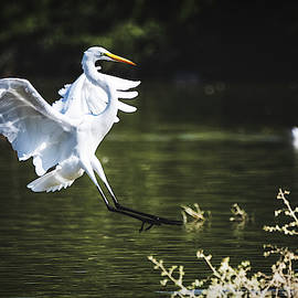 Egret Landing  by Saija Lehtonen