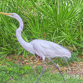 Egret On A Mission by Judy Kay