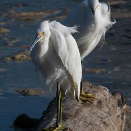 Egrets in the Ocean Breeze by Bruce Frye