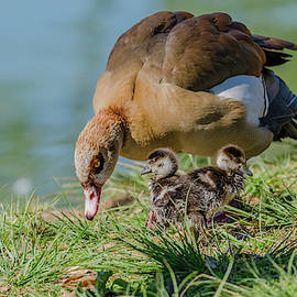 Egyptian Goose And Goslings by Morris Finkelstein