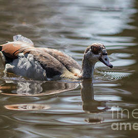 Egyptian Goose Swimming by Eva Lechner
