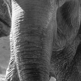 Elephant by Barbara Henry