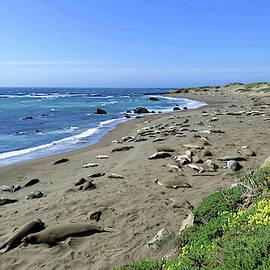 Elephant Seals, Pismo Beach, California by Lyuba Filatova