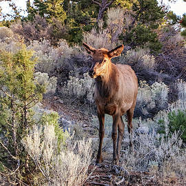 Elk Cow 2, Grand Canyon by Dawn Richards