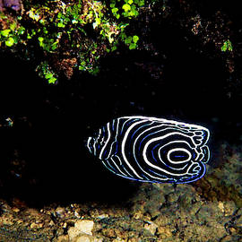 Emperor Angelfish by Christina Ford