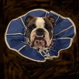 English Bulldog Gus, Recovering 3 by Adrienne Hantz Kelley