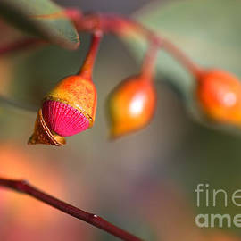 Eucalyptus Buds and Flower  by Joy Watson