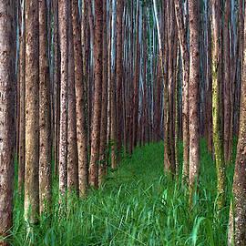 Christopher Johnson - Eucalyptus Forest Pathway
