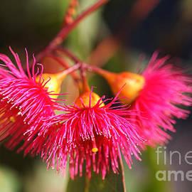Eucalyptus Its Living Bells by Joy Watson