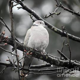 Eurasian Collared Dove by Kerri Farley