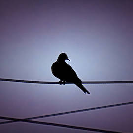 Eurasian Dove Silhouette by Judy Kennedy