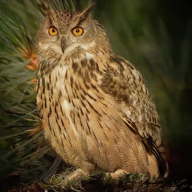 Eurasian Eagle Owl by Robert Murray