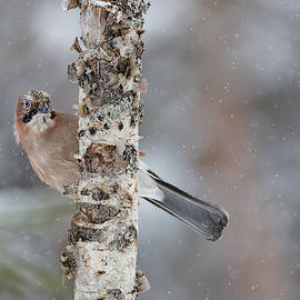 Eurasian jay in snowfall 01 by Murray Rudd