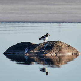 Eurasian oystercatcher on the rocks by Jouko Lehto