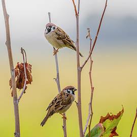 Eurasian Tree Sparrows by Morris Finkelstein