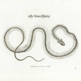 European Grass Snake Skeleton by Johann Daniel Meyer