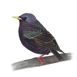 European Starling by Andras Vasas