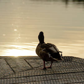 Evening Duck by Scott Lyons