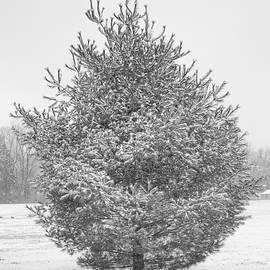 Evergreen in the Snow by Denise Harty