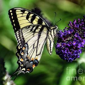 Exceptional Beauty Of An Eastern Tiger Swallowtail by Cindy Treger