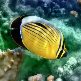 Exquisite Butterflyfish CloseUp Colorfully by Johanna Hurmerinta