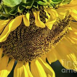 Exquisite Sunflower by Cindy Treger