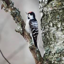 Eyes wide open. Lesser spotted woodpecker by Jouko Lehto