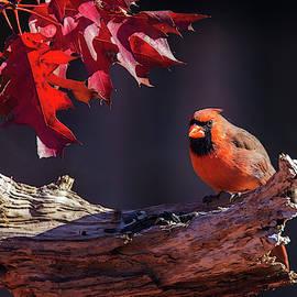 Fall Cardinal by Mircea Costina Photography