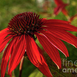 Fall Coneflower by Linda Howes