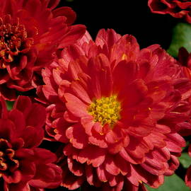 Fall Flower Series - Full Bloom 3 by Arlane Crump