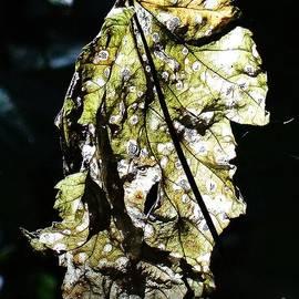 Fall leaf catching the light by Karin Ravasio