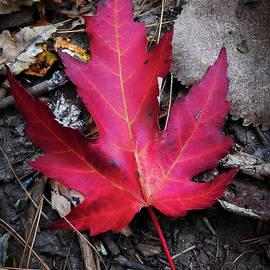 Fall Maple Leaf by Abigail Herrington