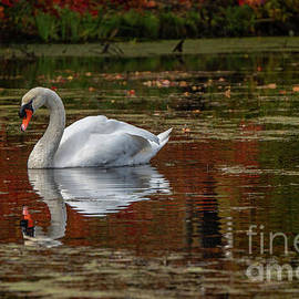 Fall Swan by Linda Howes