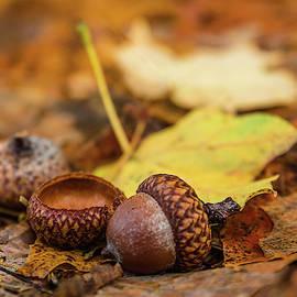 Fallen Acorns by Debbie Gracy
