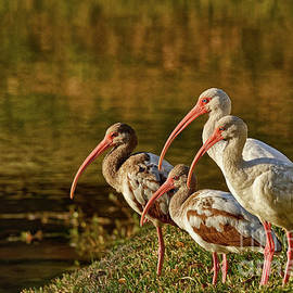 Family of Ibis Watching the Sunset - 5366 by Marvin Reinhart